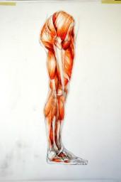 anatomy sb leg muscles